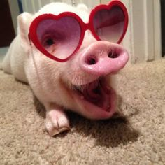 Miniature Pet Pigs – Why Are They Such Popular Pets? – Pets and Animals Cute Baby Pigs, Cute Piglets, Cute Babies, Cute Little Animals, Cute Funny Animals, Funny Pig Pictures, Happy Pig, Teacup Pigs, Funny Pigs