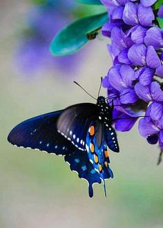 Blue butterflu; purple flowers