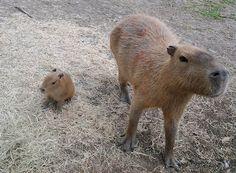 I so want a pet capybara.
