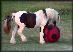 Casanova playing with the ball.  One of the Stallions at Freelands Gypsy Vanners.