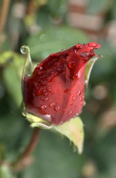 Rose nach dem Regen Nature Images, Red Roses, Stuffed Peppers, Fruit, Vegetables, Beautiful, Roses, Flowers, Rain