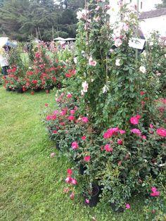 Climbing roses - villa manin ( udine ) italy