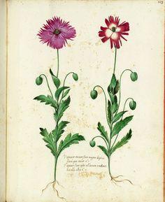 vintage botanical illustrations Botanical Tattoo, Botanical Drawings, Botanical Flowers, Botanical Art, Vintage Illustration Art, Nature Illustration, Vintage Botanical Prints, Antique Prints, Wildflower Drawing