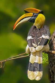 Great Indian Hornbill Male (I built a Wire & Plaster Model of this Bird in…