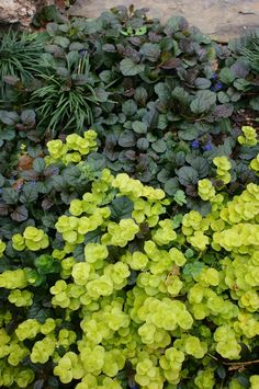 ajuga and creeping jenny.ajuga as ground cover on front right and ajuga/creeping jenny combo as ground cover for shady side of house Garden Shrubs, Landscaping Plants, Shade Garden, Garden Plants, Fruit Garden, Plant Design, Garden Design, Ground Cover Plants, Shade Plants