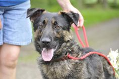 Meet Jake, a Petfinder adoptable German Shepherd Dog Dog   Bolton, ON   Meet Jake, male shepherd mix around 1 years old. This boy needs a lots of TLC as he is still...
