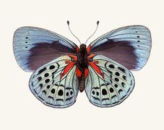 Charles Darwin Butterfly Photo, Callithea philotima,  Allison Trentelman