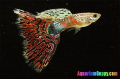 I love guppies! This is a Red Mosaic Guppy Fish!
