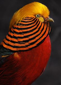 Chinese Golden Pheasant. My all-time favorite bird. In a huge aviary, in Guangzhou, China, they used to come running by me, and I was totally amazed by their colors and the patterns of their feathers. This picture shows only the head; the rest of the body is even more amazing. I'm sure God painted them just to laugh in the face of evolutionists.