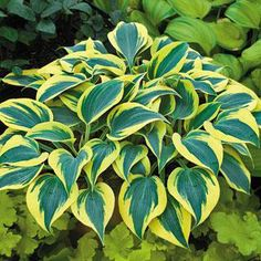 Autumn Frost Hosta - Plant Patent Applied For.With a classic pedigree and unbeatable curb appeal, this beautifully variegated Hosta is a treasure in any setting. 'Autumn Frost' begins spring with wide buttery yellow margins that fade to pure white during the summer months. A vigorous tetraploid, it is just the perfect accent for the shade border, woodland garden, or your finest container.