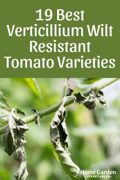 Verticillium wilt is one of the many problems that tomato plants encounter. Learn about verticillium wilt resistant tomato varieties to grow and avoid such problems. Grow Tomatoes, Tomato Plants, Vegetable Garden, Home And Garden, Vegetables, Vegetables Garden, Vegetable Recipes, Vegetable Gardening, Veggie Gardens