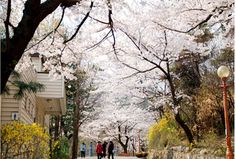 Beautiful Seoul! In the spring many parks are lined with cherry blossom trees.
