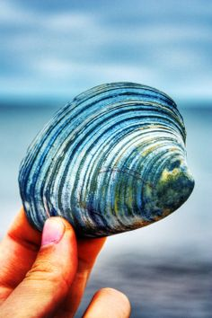 Blue and white striped seashell