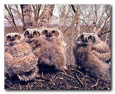 Look wow! This beautiful wall poster will be a stunning and elegant addition to any space wherever you hang it. This poster captures the image of great horned owlets wild birds looking very adorable which is sure to grab lot of attention. This cheerful poster will bring a sense of natural beauty to any home. Grab this poster for its durable quality and wonderful color accuracy.