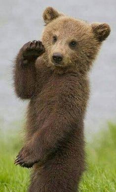 Grizzly Bear Cub, Baby Bear Cub, Bear Cubs, Polar Bear, Black Bear, Brown Bear, Cute Baby Animals, Animals And Pets, Beautiful Creatures