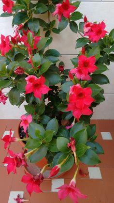 Dipladenia sandeville Front Yard Garden Design, Front Yard Plants, Garden Nook, Garden Trees, Container Gardening Vegetables, Container Plants, Flowering Creepers, Amazing Flowers, Beautiful Flowers