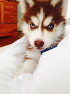 Red & White husky puppy