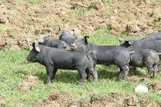 Large Black piglets