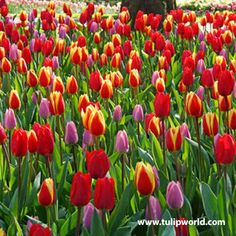 Top quality Power of Love Tulip Mix covered by our Grow Guarantee! Tulip Bulbs, Fall Plants, Planting Bulbs, Cut Flowers, Abundance, Tulips, Wedding Favors, Color Schemes, Tulip