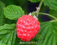 This exciting new dwarf, thornless red raspberry from the BrazelBerries™ Collection has an endearing, rounded growth habit and is perfectly suited to large patio containers. It will nicely fill out no matter what the shape, or spread slightly in the landscape, and requires no staking! Self fertile, yielding full-sized, nutritious and super sweet berries in mid-summer. This showstopper will be a lovely addition to the balcony, patio, or garden. Deciduous.