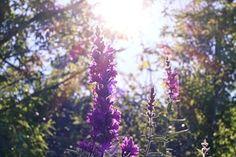 Purple, Flowers, Sunshine