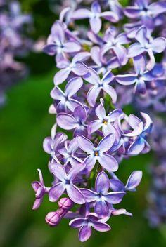 Цветы сирени. Фото Ю. Тарасова