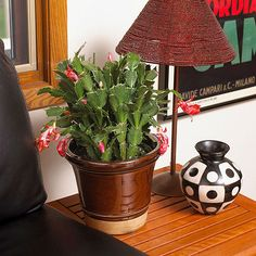 Christmas Cactus Repotting – When And How To Repot A Christmas ...