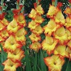 Gladiolus | ... Flower Bulbs Other Flower Bulbs Gladiolus Princess Margaret Rose
