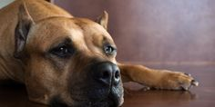 Cosmetic Ear Cropping On Dogs Banned By B.C. Vets