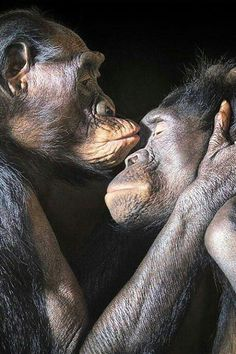 Chimps or. .. kissing