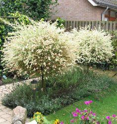 Salix integra 'Hakuro-nishiki' | Gluosnis Sveikalapis * vvvv, ssss