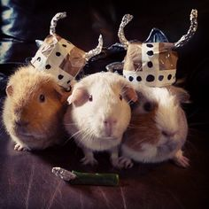 fruitdancey:  My friends said they needed 'Viking Rodents' for #GISHWHES and I said CHALLENGE ACCEPTED. #guineapig #guineapigs