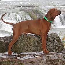 redbone coonhound - Google Search