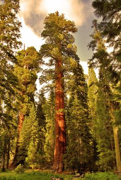 Sequoia Tree  by ~BreathlessLullaby