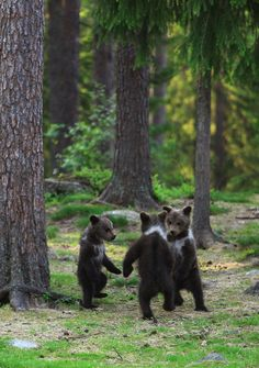 Today is the day the teddy bears have their picnic! Three Brown Bear cubs playing in a forest http://en.wikipedia.org/wiki/Brown_bear