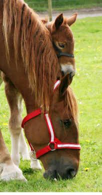 Suffolk Punch mare with foal - from Horkesley Park Suffolk Punches - Horse Breeds