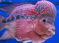 flowerhorn fish pictures | Flower Horn Fish
