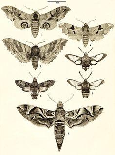 macroglossum stellatarum moth illustration