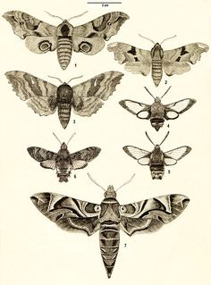 macroglossum stellatarum moth illustration