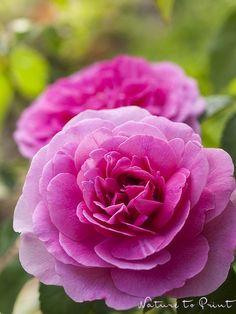 Kunstdruck oder Leinwandbild mit pinken Rosenblüten