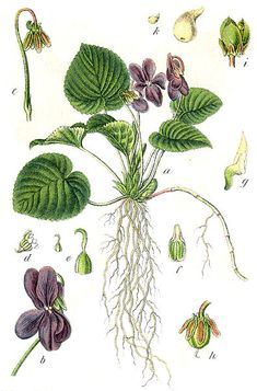 Viola odorata / Violeta: Viola can be used as a skin treatment against eczema and also to reduce the appearance of varicose veins. This strong-smelling flower has anti-cancer properties and can also alleviate symptoms of asthma and related lung illnesses.