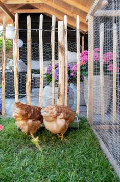 Chickens In Your Backyard . Chickens In Your Backyard . Decorating with Roosters for A French Country Look Water Slides Backyard, Backyard Trampoline, Fire Pit Backyard, Chickens Backyard, Backyard Pavilion, Backyard Trees, Backyard Shade, Backyard Basketball, Backyard Renovations