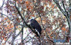 Bald Eagle on the shoreline of Table Rock Lake.