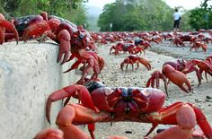 The Christmas Island Red Crab Migration is a world famous event. Information about the red crab migration. Christmas Island Crabs, Flora Und Fauna, Crab And Lobster, Australian Animals, Natural Phenomena, Science And Nature, Marine Life, Sea Creatures, Under The Sea