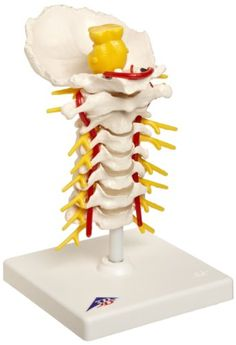 "3B Scientific A72 Cervical Spinal Column Model With Stand, 7.5"" Height, 2015 Amazon Top Rated Anatomical Models #BISS"