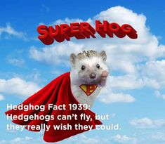 Twenty Incredible Hedgehog Facts That Will Astound You Happy Hedgehog, Hedgehog Pet, Cute Hedgehog, Cute Baby Animals, Funny Animals, Hedgehog Facts, Introductory Paragraph, Cute Photos, The Twenties