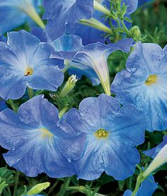 Petunia, Sky Blue.Rare sky-blue flower color. Or this for the front walk. Less expensive option.