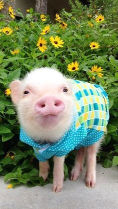 pig-with-a-sweater.jpg (360×640)