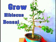 Grow Hibiscus Bonsai | Wiring | pruning - October  2016(Hindi)