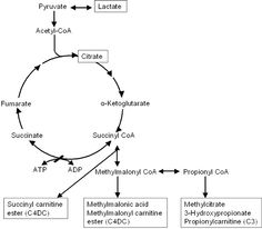 Citric acid cycle and photosynthesis